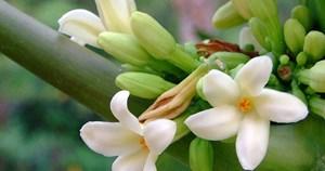 Hoa đu đủ đực: Dược liệu quý rất tốt cho sức khỏe