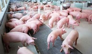 Đàn lợn phục hồi tốt