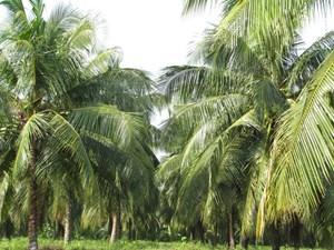 Phục hồi cây dừa