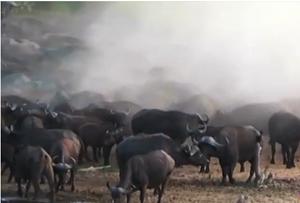 [VIDEO] Đàn trâu rừng 'giày xéo' sư tử chết dở sống dở