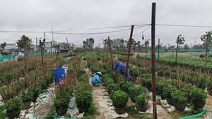 Nông dân đội mưa rét chăm hoa Tết