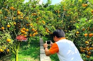 [VIDEO] Vườn quýt hồng trĩu quả ở Lai Vung
