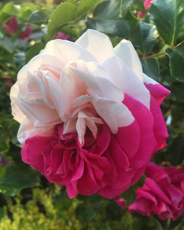Một bông hoa hồng do thiên nhiên tạo ra.