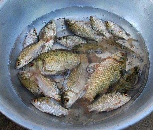 Cá diếc rửa sạch nấu cháo là món ăn rất bổ dưỡng cho người huyết áp thấp.