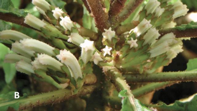 Phát hiện loài hoa siêu hiếm còn tồn tại ở Hawaii - Ảnh 1