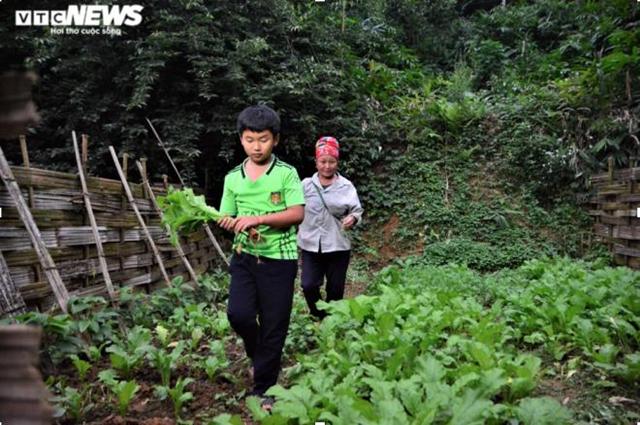Tẩn Minh Khải phụ bà ngoại thu hoạch rau khi được nghỉ học. (Ảnh: Quốc Việt).