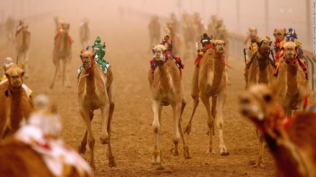 Đua lạc đà trong lễ hội Al Marmoom ở Dubai là trải nghiệm không thể bỏ qua khi đi du lịch Trung Đông. Trong đó, ấn tượng nhất là cuộc đua lạc đà của những con robot.