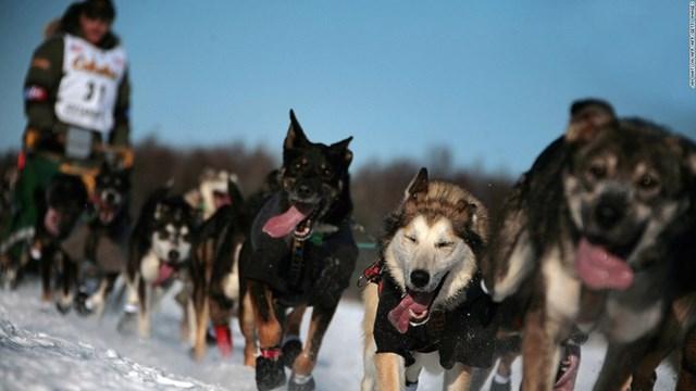 Cuộc đua chó kéo trên tuyết Iditarod ở Alaska (Mỹ) kéo dài ít nhất 8 ngày với quãng đường trên 1.000 dặm dưới nhiệt độ - 50 độ C.