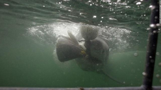 Gansbaai (Nam Phi) là địa điểm mơ ước của những người ưa mạo hiểm và là một trong những nơi lặn cùng cá mập đầu tiên trên thế giới. Du khách sẽ được nhìn tận mắt hàm răng sắc nhọn của những con cá mập trắng, ám ảnh kinh hoàng dưới lòng biển.