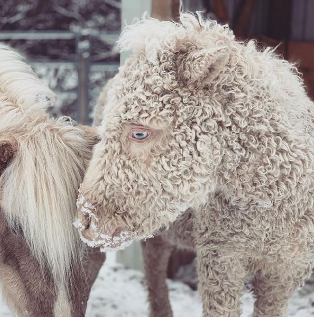 Chỉ có thể chứng kiến bộ lông xoăn của Bashkir Curly vào mùa lạnh.