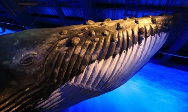 Một mô hình cá voi. Ảnh: Roman Gerasymenko.