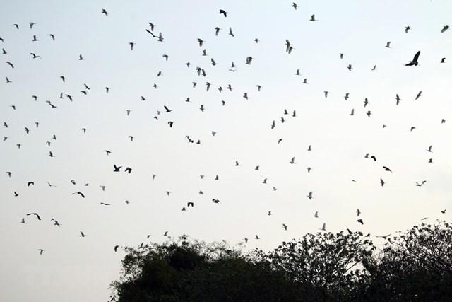 Sáng sớm hoặc chiều tà là lúc từng đàn cò bay lượn rợp một góc trời. (Ảnh: Phạm Kiên/TTXVN).