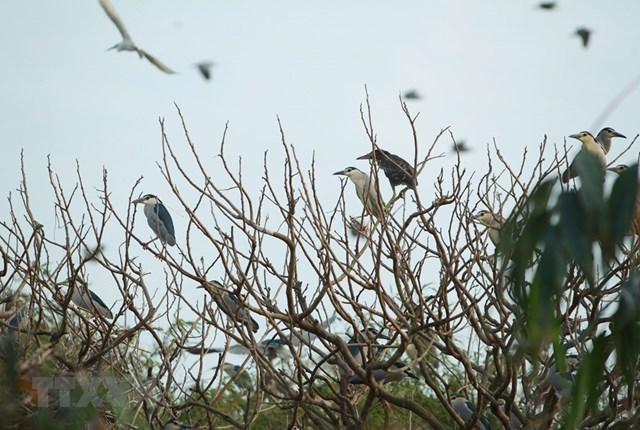 Cò về đậu trên những cành cây tại Đảo cò ở thành phố Hưng Yên. (Ảnh: Phạm Kiên/TTXVN).