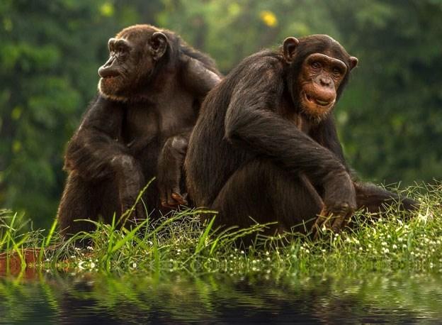 Tinh tinh Bonobo.