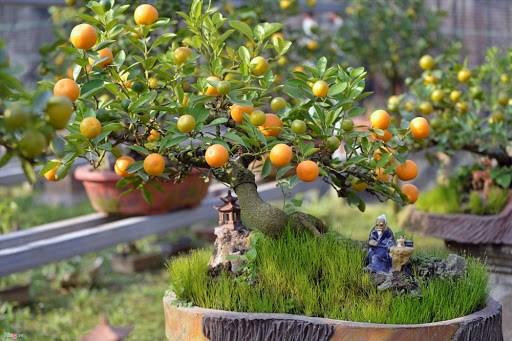 Cách chọn cây quất đẹp trang trí nhà cửa dịp Tết - Ảnh 2