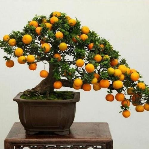 Cách chọn cây quất đẹp trang trí nhà cửa dịp Tết - Ảnh 1