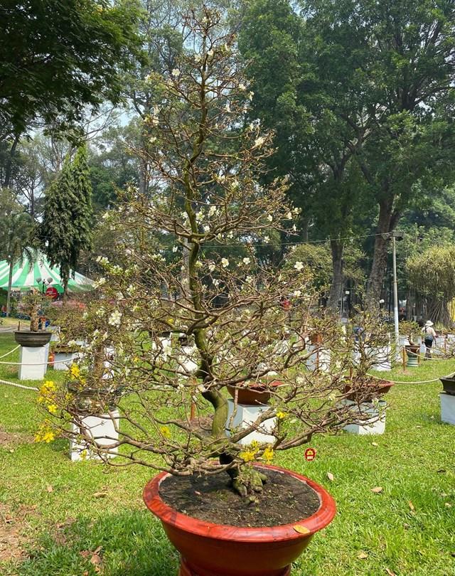 Cây mai hai màu hoa cao khoảng 2,5m. Ảnh: Đại Việt.