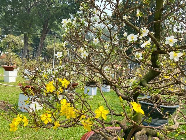 Những cành bên dưới có hoa màu vàng và những cành bên trên có hoa màu trắng. Ảnh: Đại Việt.