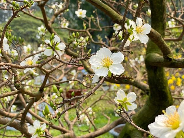 Những bông hoa mai trắng thu hút ánh nhìn của người xem. Ảnh: Đại Việt.