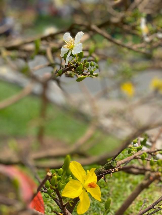 Hoa trắng, hoa vàng khoe sắc. Ảnh: Đại Việt.