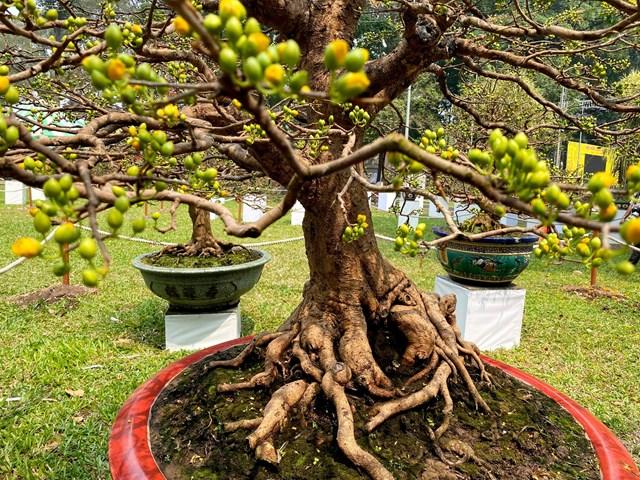 Những cây mai cổ thụ trổ đầy nụ chờ Tết. Ảnh: Đại Việt.