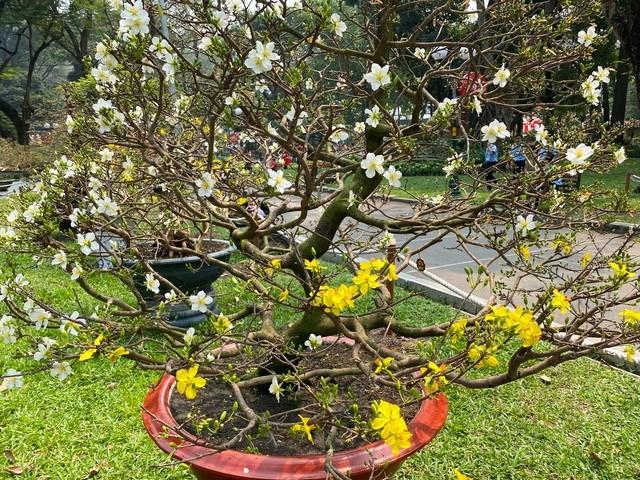 Cây mai có hai màu hoa màu trắng và vàng rất hiếm thấy. Ảnh: Đại Việt.