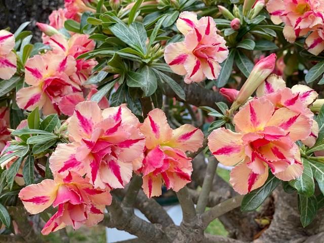 'Độc nhất vô nhị' cây mai nở cùng lúc hai màu hoa trắng và vàng - Ảnh 2