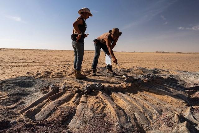 Nhóm của ông Sereno thu thập mảnh vỡ từ hóa thạch của một con khủng long.