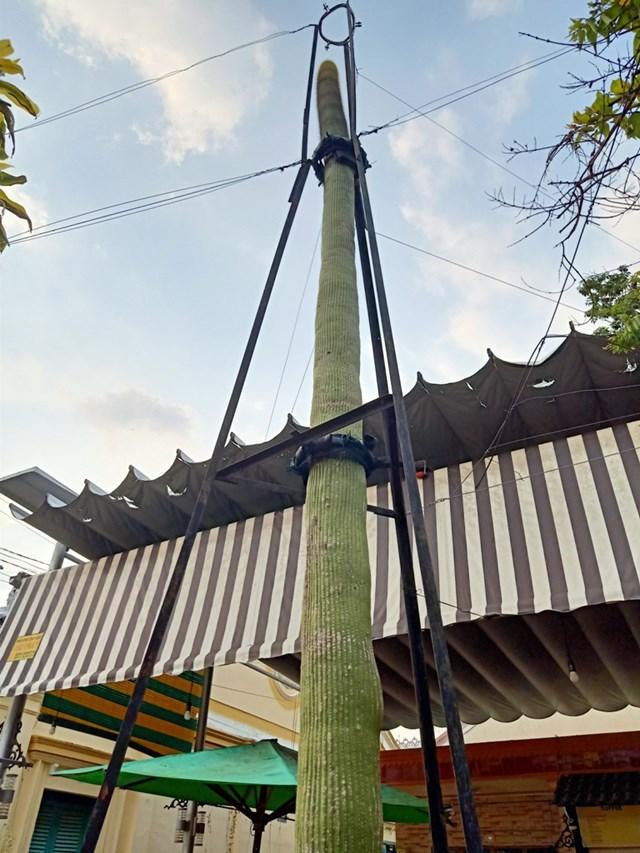 [VIDEO] Cây xương rồng 'khổng lồ' như cột điện, cao hơn 10 m - Ảnh 6