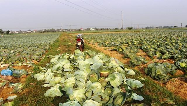 Những người trồng rau tại huyện Diễn Châu mất ăn, mất ngủ vì khi đến mùa thu hoạch không biết bán cho ai.