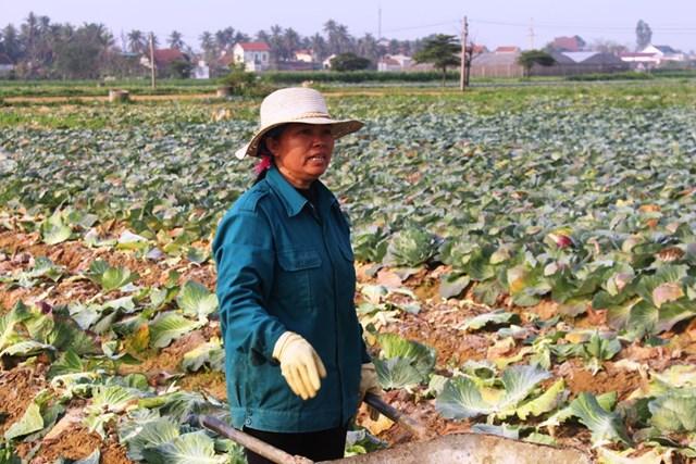 Bà Nguyễn Thị Tám cho biết, chưa năm nào trồng cải bắp lại mất mùa như năm nay.