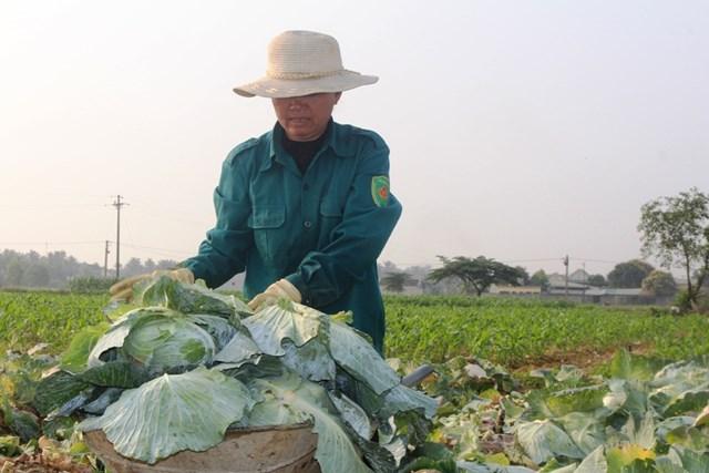 Những ngày qua, ông Quý, bà Tám dùng xe tấp mỗi lần 200-300 bắp cải chở đi các huyện vừa bán vừa cho cũng không đủ tiền xăng.