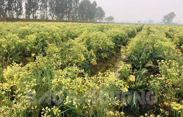 Ruộng su lơ của gia đình anh Hà Văn Sĩ bị già quá lứa, nở hoa.