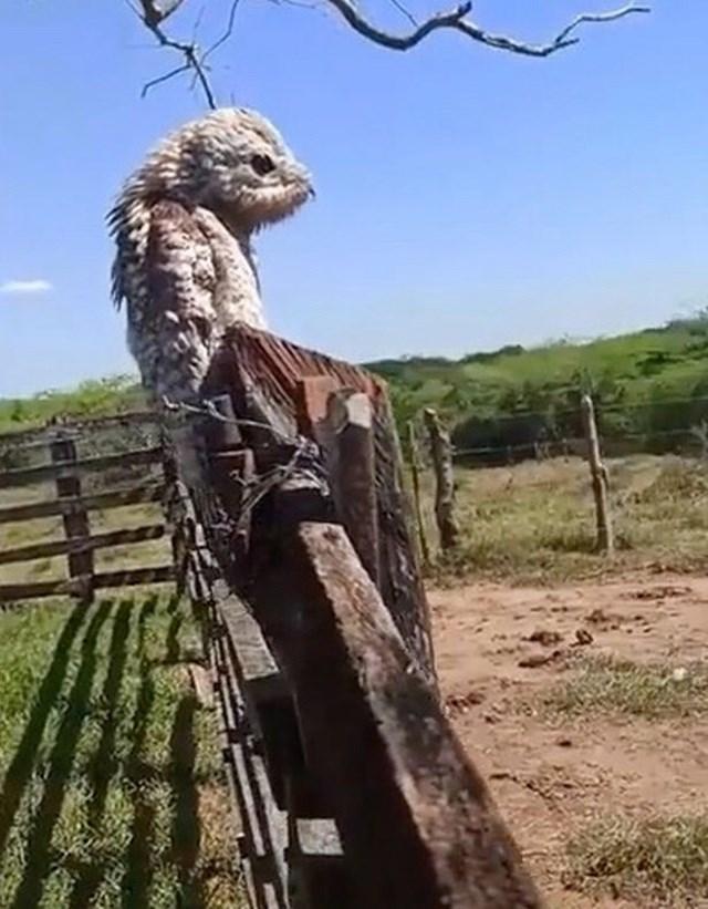 Con chim kỳ lạ tại một trang trại ở Chibolo, Colombia.