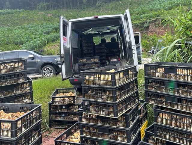 Số gà giống nhập lậu được tập kết để chuẩn bị vận chuyển đi tiêu thụ.