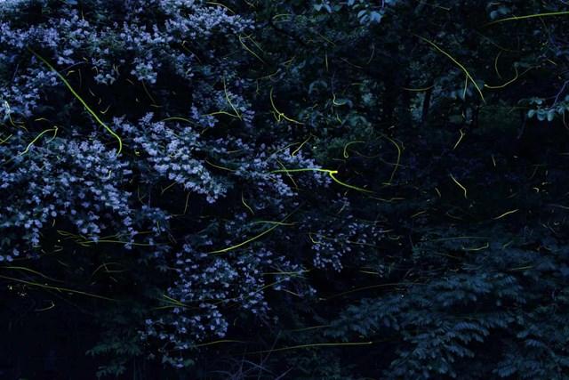 Nhật Bản có tới hơn 40 loài đom đóm. (Ảnh: Kei Nomiyama/The Guardian).