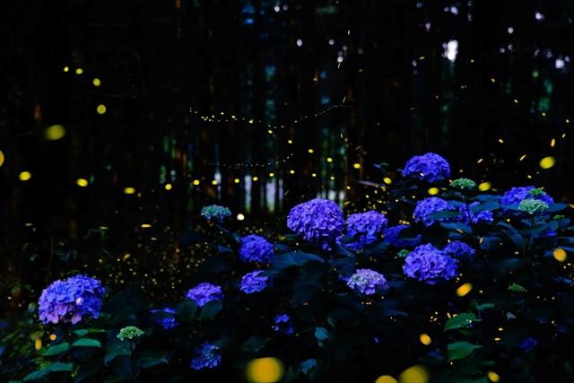 Mùa đom đóm ở Nhật Bản trùng với mùa mưa cũng là mùa hoa tú cầu nở. (Ảnh: Kei Nomiyama/The Guardian).