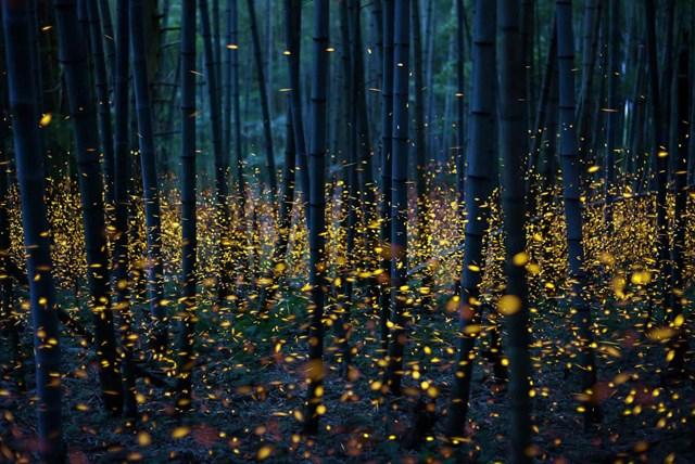 Đom đóm trong rừng trúc. (Ảnh: Kei Nomiyama/The Guardian).