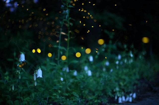 Đom đóm bay bên những bông hoa đèn lồng. (Ảnh: Kei Nomiyama/The Guardian).