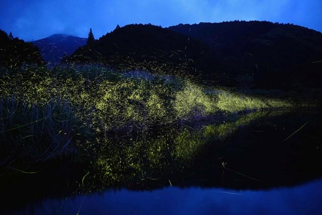 Bức ảnh ghi lại hình ảnh những chú đom đóm bay trên mặt nước. Vệt sáng mà những chú đom đóm tạo ra có thể kéo dài tới vài trăm mét khi được lưu lại bằng phương pháp phơi sáng lâu. (Ảnh: Kei Nomiyama/The Guardian).