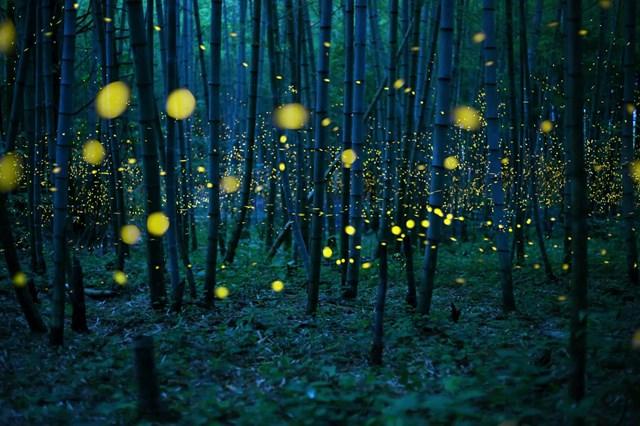 Đom đóm có nhiều nhất trong thiên nhiên ở Nhật Bản kể từ cuối tháng 5 tới giữa tháng 7 hàng năm. (Ảnh: Kei Nomiyama/The Guardian).