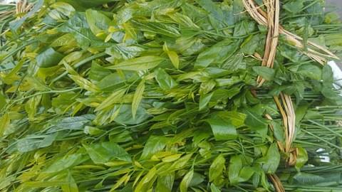 Ngoài là thực phẩm sạch và giàu dinh dưỡng thì rau ngót rừng còn là vị thuốc.