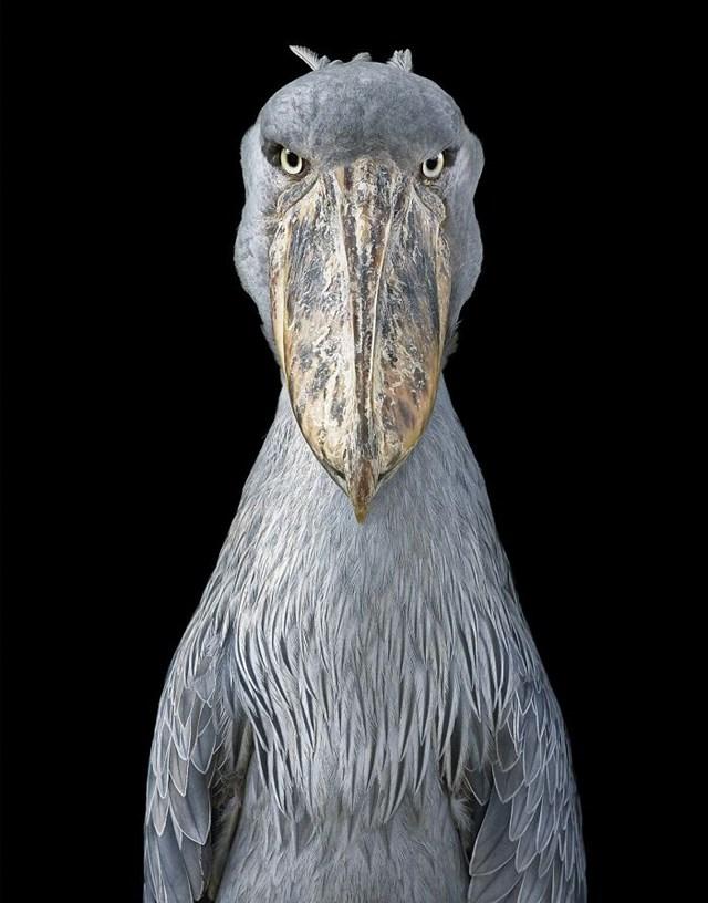 [ẢNH] TOP 25 loài chim quý hiếm và tuyệt đẹp - Ảnh 18