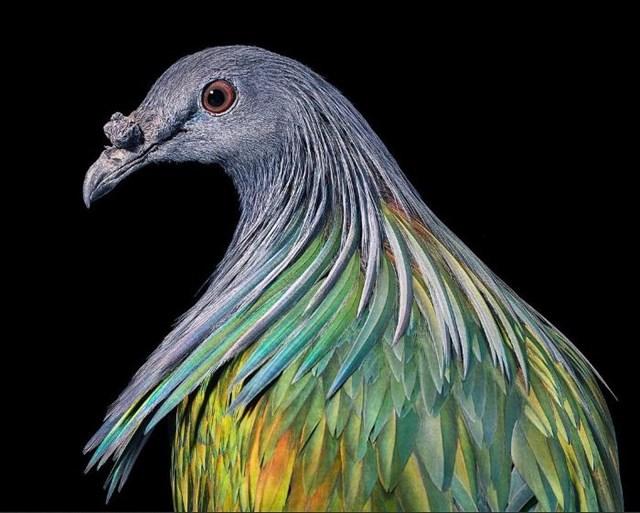 [ẢNH] TOP 25 loài chim quý hiếm và tuyệt đẹp - Ảnh 22