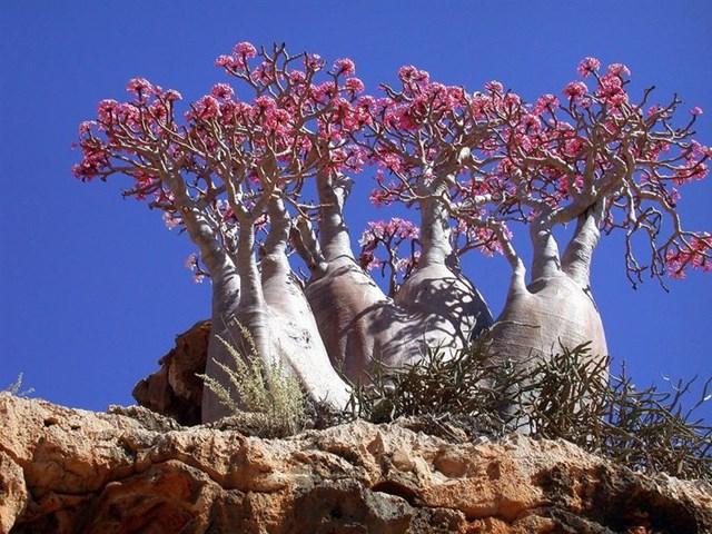 Cây hình chai trên đảo Socotra, biển Ả rập.
