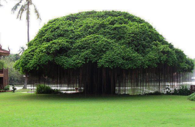 Cây đại thụ ở Ficus, Philippines.