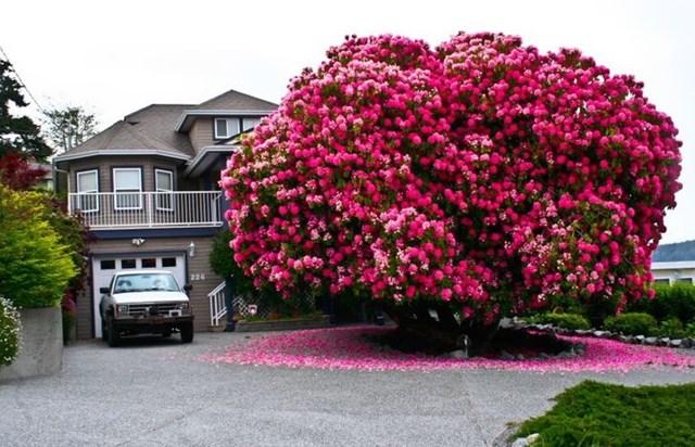 cây đỗ quyên 125 tuổi ở Canada.