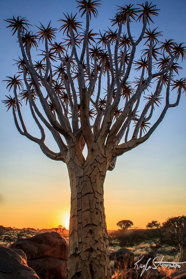 Cây rung ở Namibia.