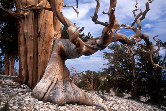 Cây thông Bristlecone - cái cây lâu đời nhất thế giới.