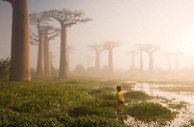 Cây bao báp ở Madagascar.